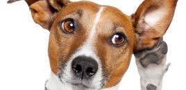 Si të pastrojmë veshët e qenit